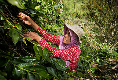 A female farmer working in an agroforestry coffee parcel.